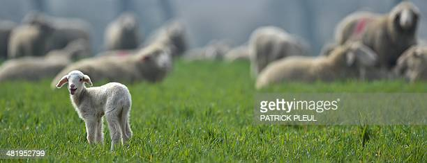 A lamb stands on a meadow near Frankfurt an der Oder eastern Germany on April 1 2014 AFP PHOTO / DPA / PATRICK PLEUL / GERMANY OUT