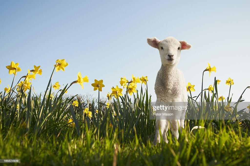 Lamb walking in field of flowers : Stock Photo