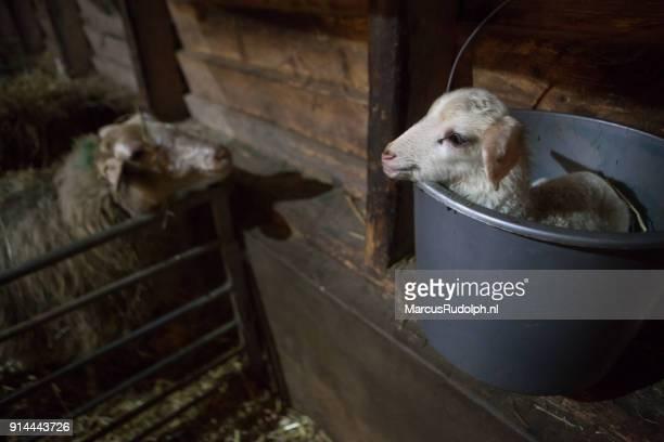 Lamb weighed in a bucket