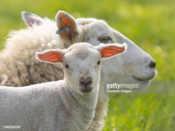 Lamb with mother behind, Cornwall, UK.