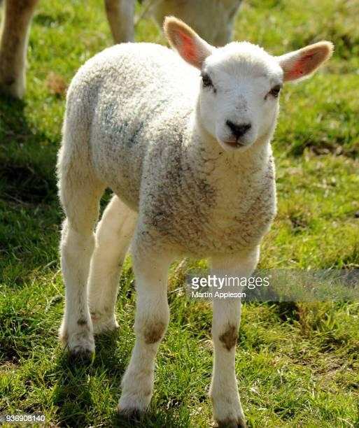 lamb17 - equinoccio de primavera fotografías e imágenes de stock