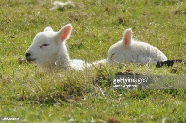 lamb8 - agnellino foto e immagini stock