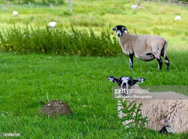 Lambing on grass in field