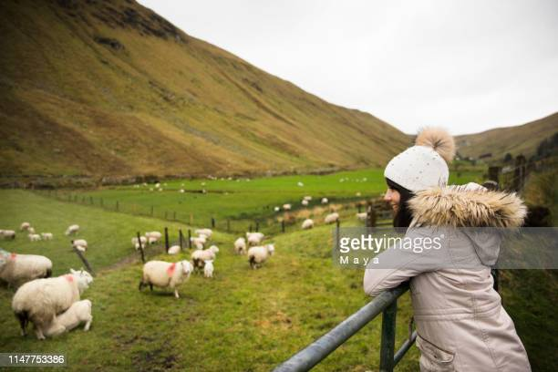 lambing - county donegal stock photos and pictures