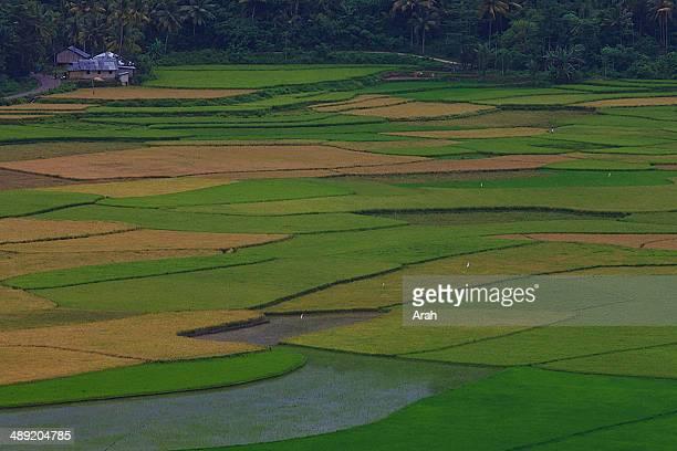 Lamboya paddy field