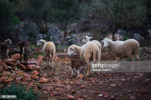 lambs and ewe, born in winter in olive groves - nematode worm stock pictures, royalty-free photos & images