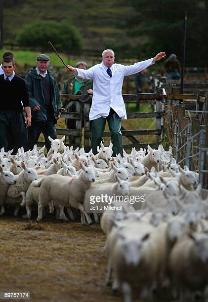 Lambs are herded between pens at Lairg's great annual sale on August 12 2009 in Lairg Scotland Lairg market hosts the annual lamb sale which is the...