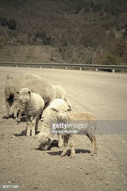 lambs at patagonian road - radicella stock photos and pictures
