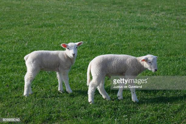 Lambs, domestic sheep (Ovis orientalis aries) young animals, Nature reserve Wedel Marsh, Wedel, California, Germany