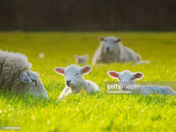 Lambs enjoying the summer sunshine, Cornwall, UK.
