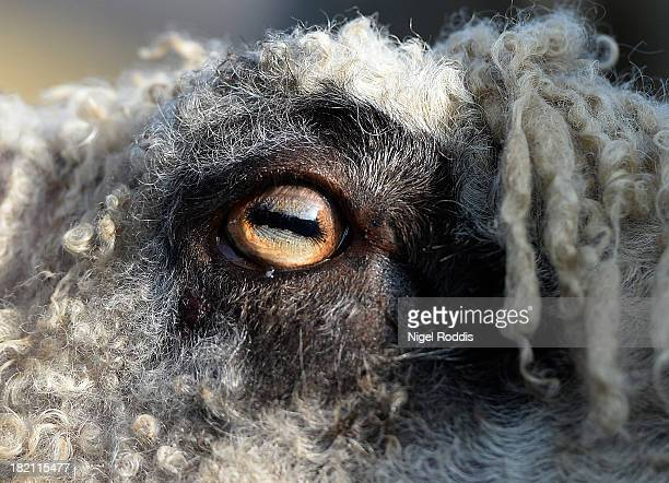 Lambs eye during the sheep fair in Masham September 28, 2013 in Masham. The fair, celebrating its 25th year, consists of many events over the...