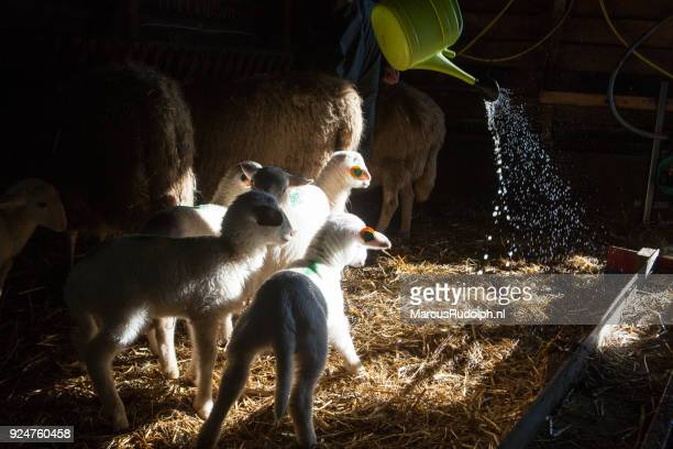 Lambs fascinated watering