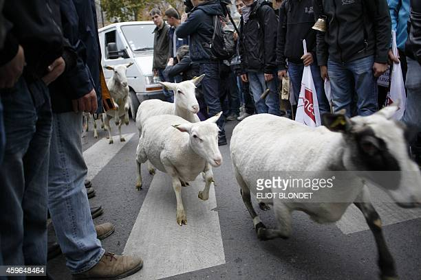 Lambs gambol around during a protest of French sheep farmers on November 27 2014 demanding an effective plan by the ecology ministry to fight against...