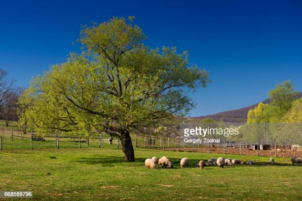 lambs graze in the shade of a huge tree - new zealand foto e immagini stock