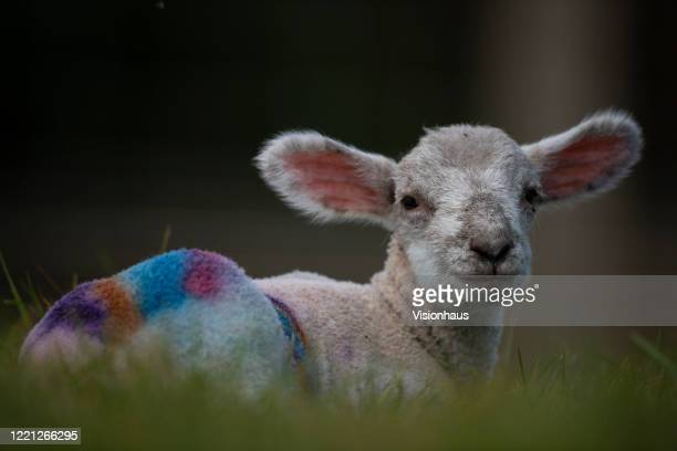 Lambs have their wool dyed in rainbow colours of support for the NHS and other keyworkers by Will and Tom Lovell, who are fifth generation sheep...
