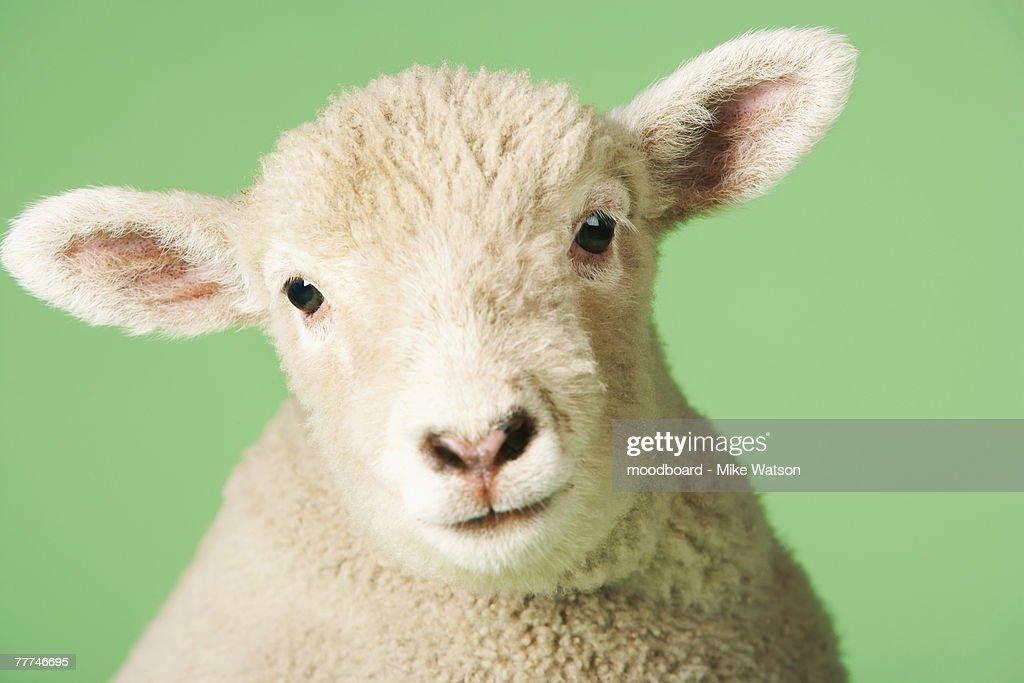 Lamb's Head : Stock Photo
