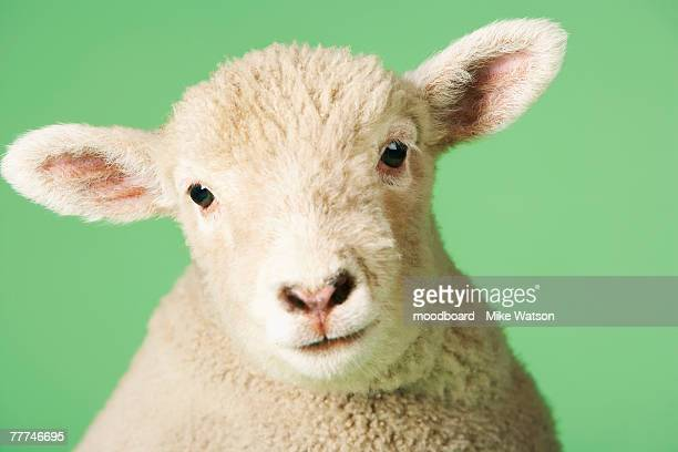 lamb's head - sheep stock pictures, royalty-free photos & images