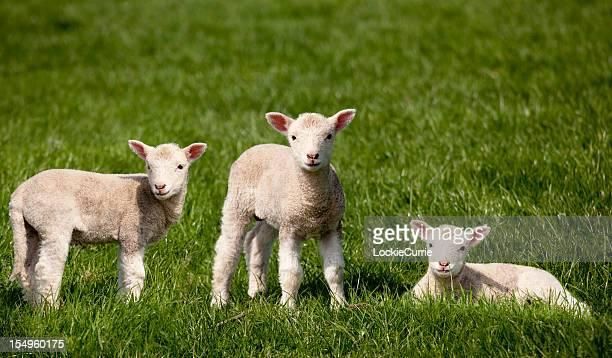 pecore in un campo - agnellino foto e immagini stock