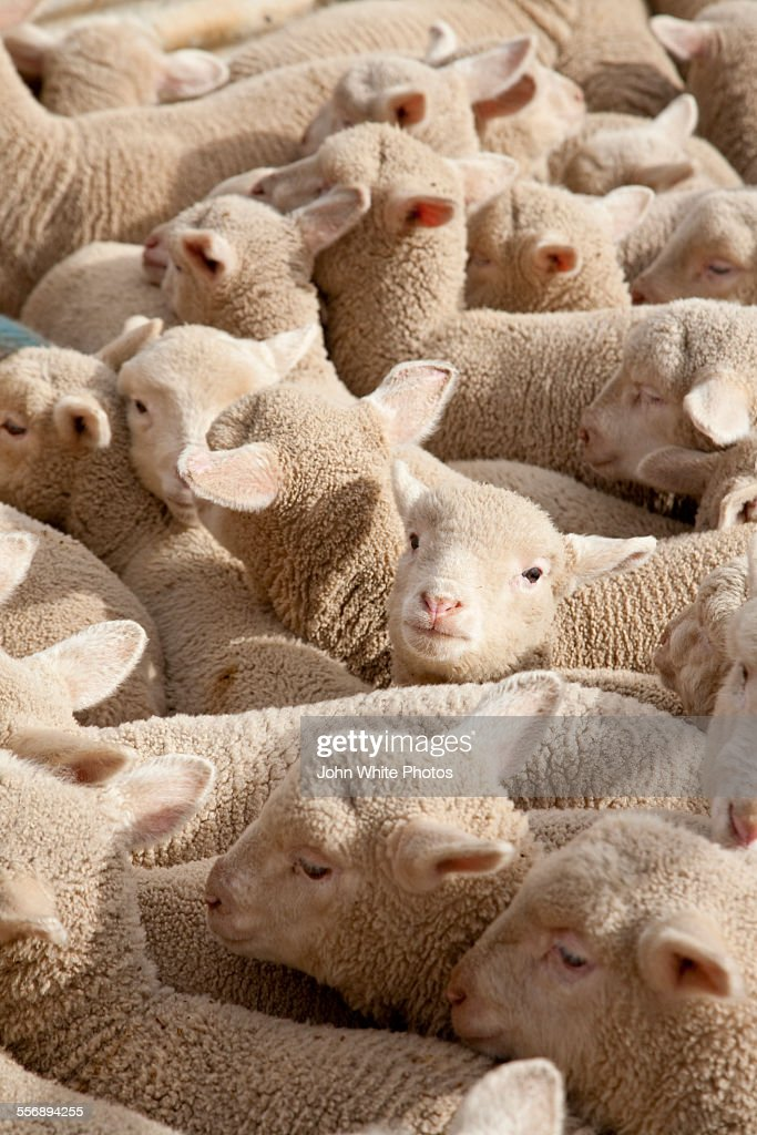 Lambs in a flock crowded together. : Stock Photo