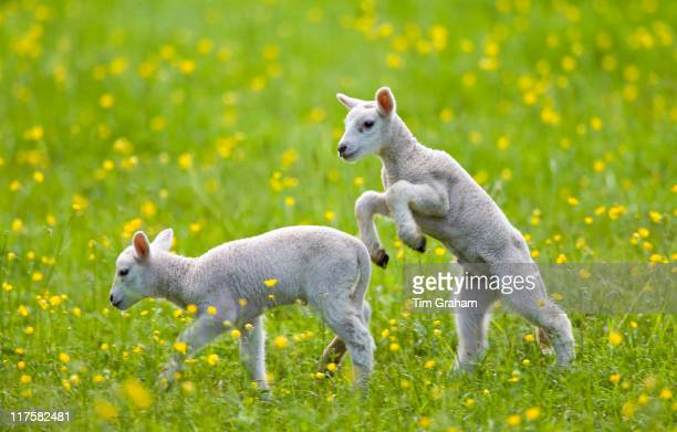 Lambs in a meadow in The Cotswolds Gloucestershire