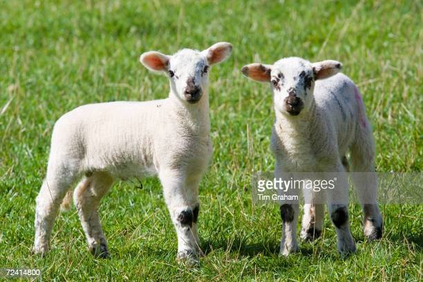Lambs in the Cotswolds Oxfordshire United Kingdom UK