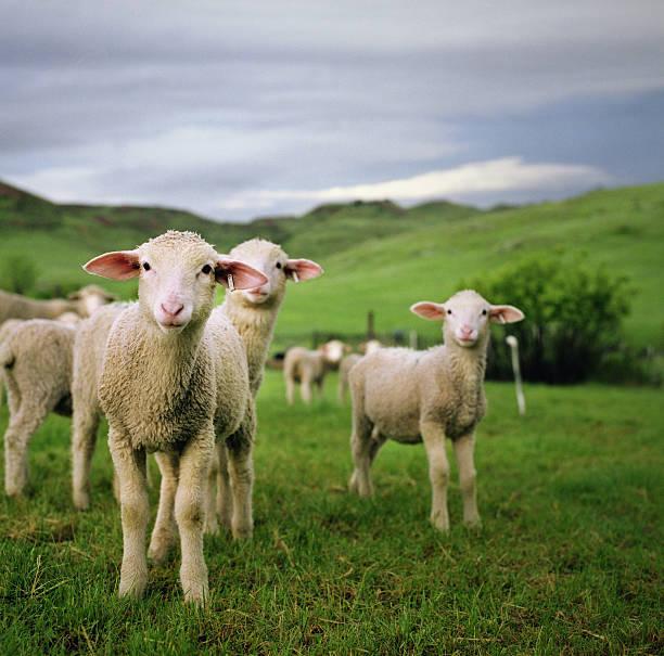 Lambs in Wyoming