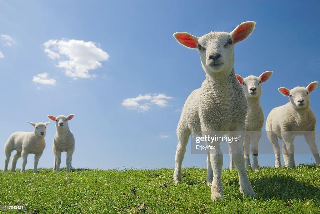 lamb photos free