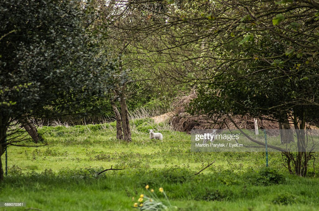 Lambs on grassy field stock photo getty images lambs on grassy field stock photo voltagebd Images