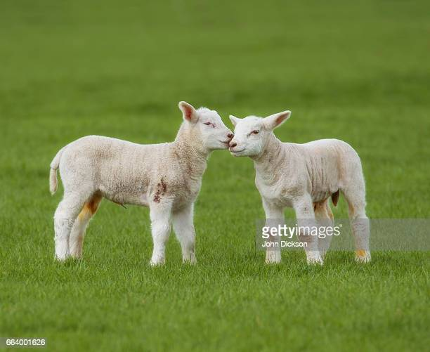 lambs - lamb animal stock photos and pictures