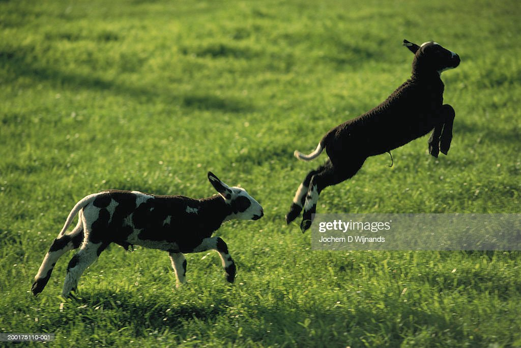 Lambs Running And Leaping In Field Side View Stock Photo