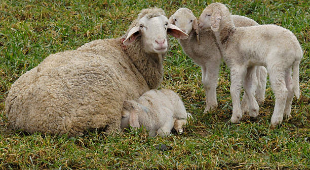 Lambs Stand Besides Their Mother On A Pa Pictures Getty Images