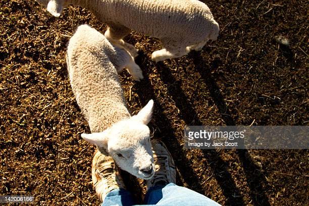 Lambs standing near farmer