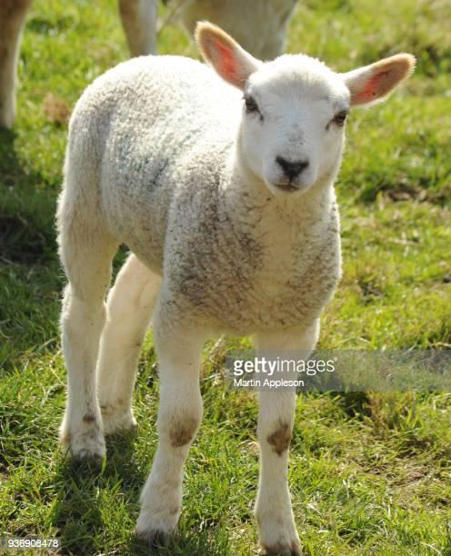 lambs21 - equinoccio de primavera fotografías e imágenes de stock