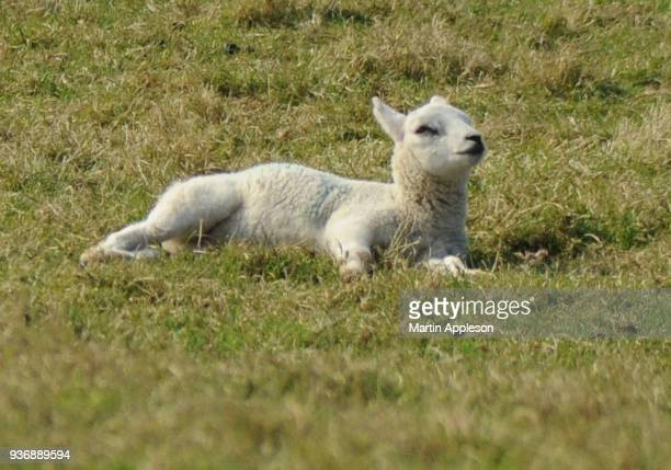 lambs6 - equinoccio de primavera fotografías e imágenes de stock