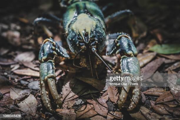 Lamington Spiny Crayfish Face Close Up