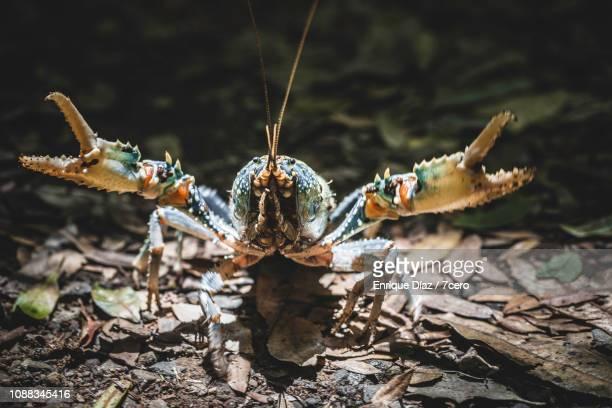 Lamington Spiny Crayfish Frontal Attack