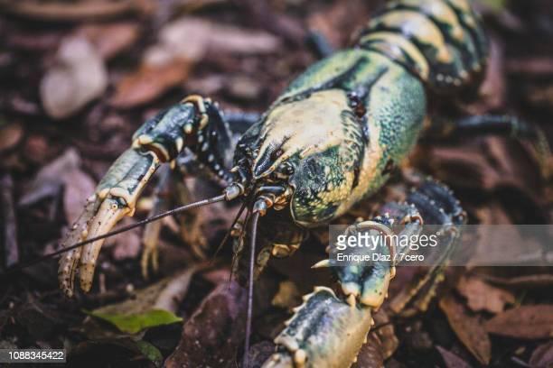 Lamington Spiny Crayfish, Side View 3