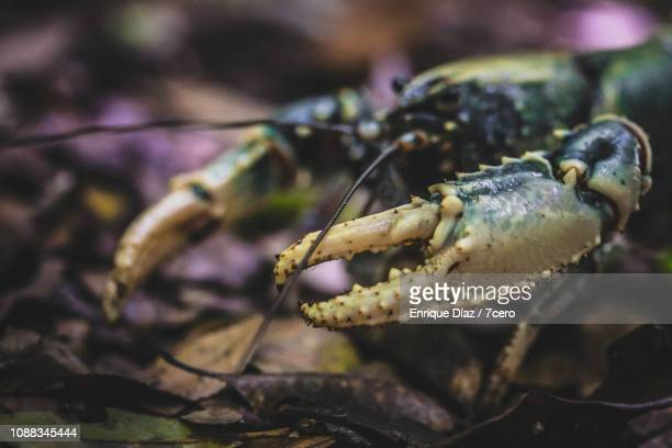 Lamington Spiny Crayfish, Side View 4