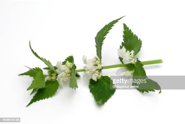 Lamium Album Commonly Called White Nettle or White Deadnettle Medicinal Plant