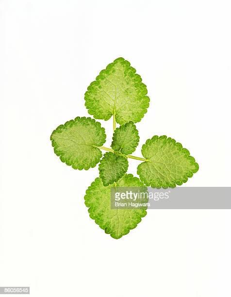 lamium leaves - イラクサ ストックフォトと画像
