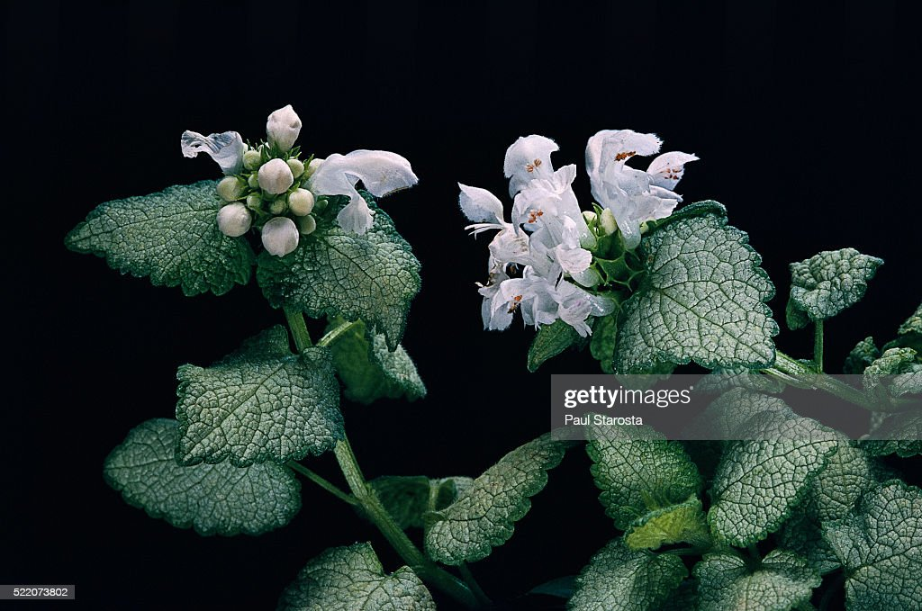 Lamium Maculatum White Nancy Spotted Dead Nettle Henbit Purple