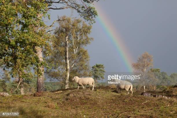 lammetjes onder regenboog
