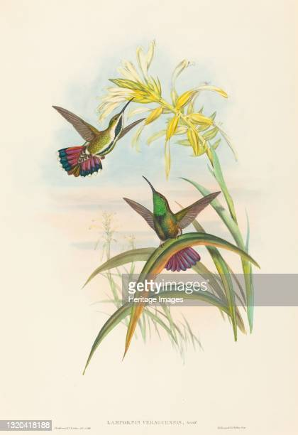 Lampornis veraguensis . Artist John Gould, Henry Constantine Richter.