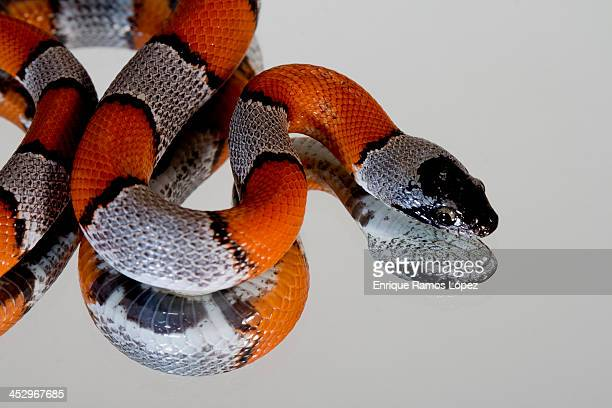 lampropeltis alterna blair - kingsnake stock photos and pictures