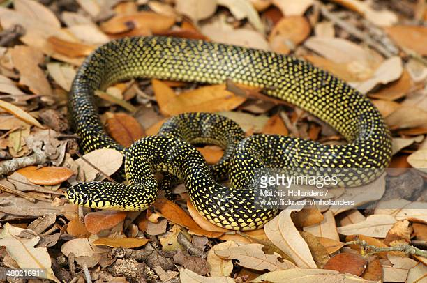 lampropeltis getula holbrooki - kingsnake stock photos and pictures