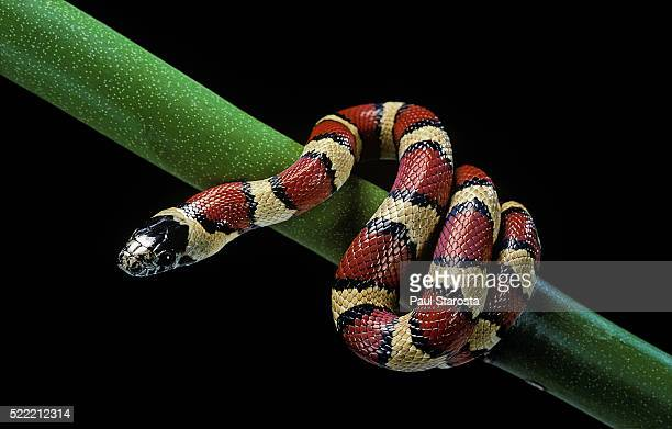 lampropeltis mexicana (mexican kingsnake) - kingsnake stock photos and pictures