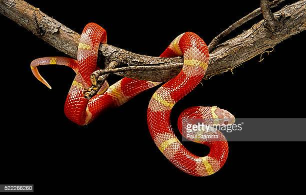 lampropeltis triangulum nelsoni f. albino (milksnake) - milk snake stock pictures, royalty-free photos & images