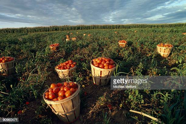 Baskets of fresh tomatoes in a field.