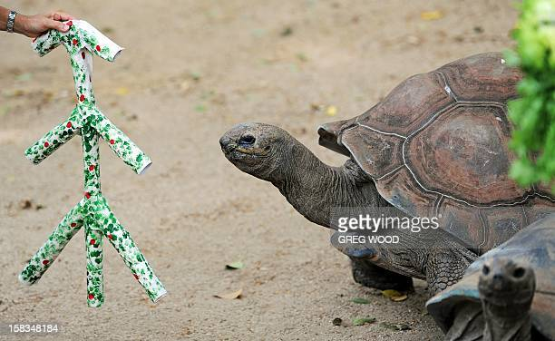 Lance an Aldabra Tortoise looks at a handmade Christmas tree at Taronga Zoo in Sydney on December 14 2012 In the lead up to Christmas a selection of...