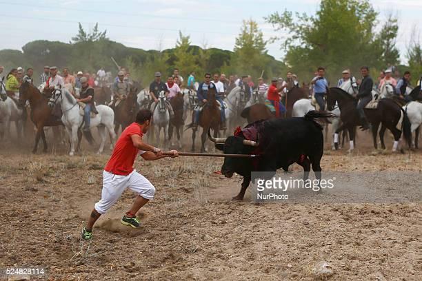 Lancer Alvaro Martin 28 spear the bull named quotElegidoquot to death during quotel toro de la vega tournamentquot at Tordesillas Castilla y Leon...